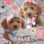 puppy-chouchou